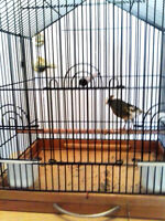 canary female 18 months old