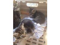 Beautiful female tabby kittens