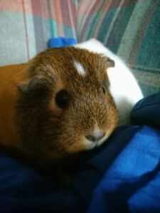 2 Female guinea pigs with cage and food to a good home