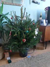 Free potted Christmas Tree