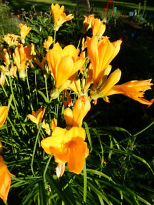 It's a perfect time to transplant a Day lily in your flower bed!
