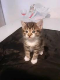 Kittens frm £400