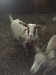 Goats for sale!