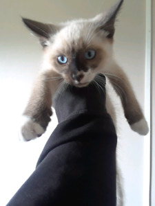 Siamese mitted seal point snowshoe kitten MALE