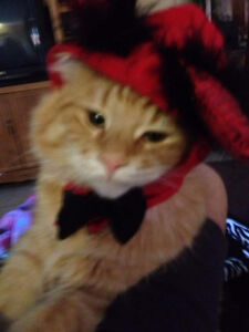 Gentle and loving adult male cat, FREE