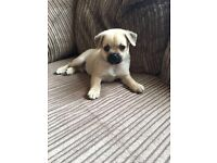 Pug X Pom boy too cute