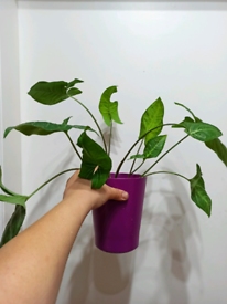 Syngonium podophyllum Schott