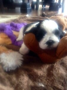 Tiny Malshi puppies for sale