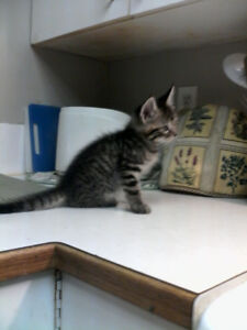Beautiful, loving kittens with blue eyes! Need to go to loving h