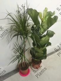 2 tall plants bundle dracaena dragon and fiddle leaf f8g