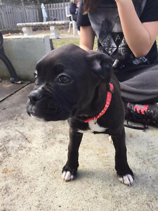 One Boxer puppy left for sale