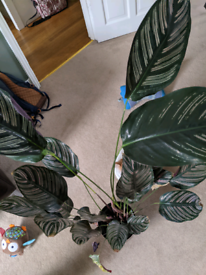 Indoor plant Calathea sanderiana
