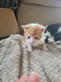 Beautiful ginger male available