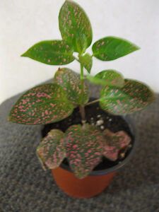 Plante aux Éphélides - Polka dot plant