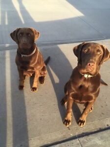 Pure breed Chocolate Lab Puppies