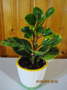 Baby Rubber Variegated Plant - (Clean House indoor Air)