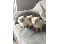 Pedigree Briman kittens!!