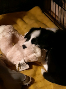 Female BORDER COLLIE PUPS FOR SALE