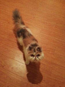Domestic cat looking for a new home