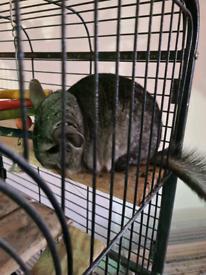 Male chinchilla for sale