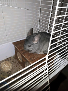 Chinchilla à donner