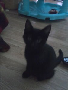 free black kittens fully trained