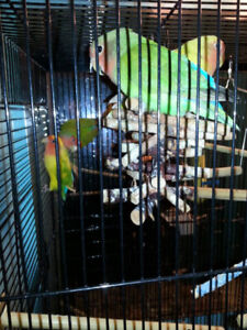 Love birds in Omemee need rehoming *FREE*