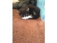 Male kitten for free