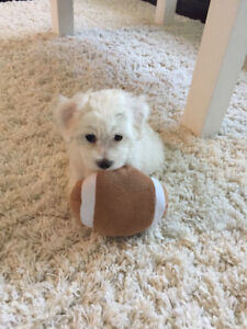 Sweetest Maltipoo puppy needs a loving home