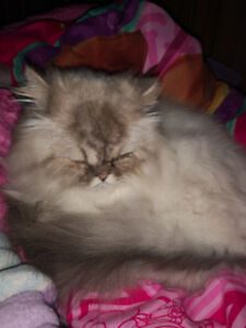Hi there have a Persian cat to rehome