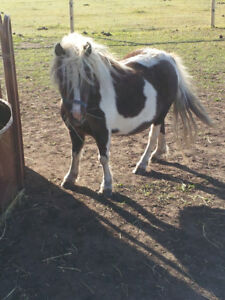 Moving must sell two miniature horses