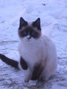 Gracie - Elegant Female Snowshoe Seal Colour Point
