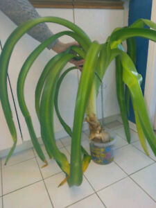 Indoor plant bulbs: Hymenocallis Lily, Spider Lily