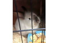 2 year old lionhead buck for sale
