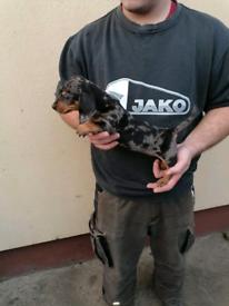 mini dashound puppies