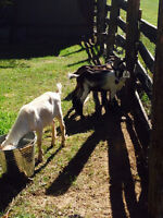 Baby goats forsale