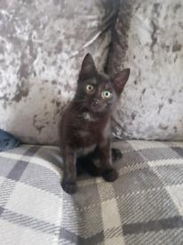 9 Week Black Kitten