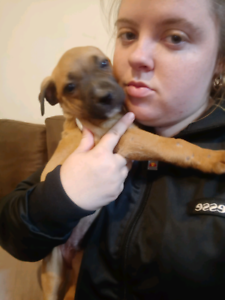 Amstaff pups for sale