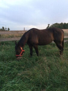12 year old Standardbred mare for $1000 OBO