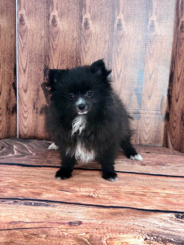 Tiny and Teacup Pomeranian puppies for sale