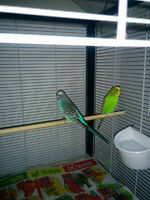 Two male budgies for free. Deux males budgies gratuit.