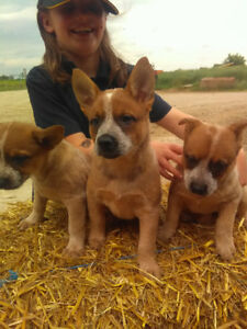 Blue and red heeler puppies for sale