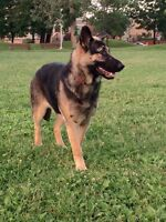 German shepherd / Berger allemande