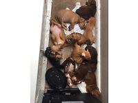 American bull dogs cross French mastiff