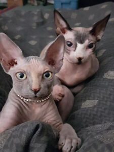 Missing 19 month old hairless sphinx cat