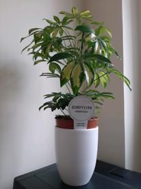 plant schefflera