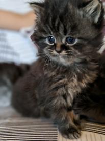 Persian X ragdoll kittens