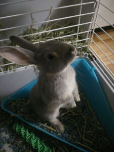 Young Cute bunny(rabbit) for sale with the cage.