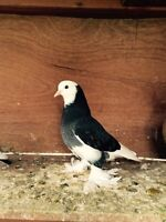West of England tumbler pigeons for sale