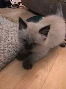 Rag doll kitten up for grabs accepting offers